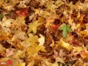 Les feuilles d'automne %E0 Soustons