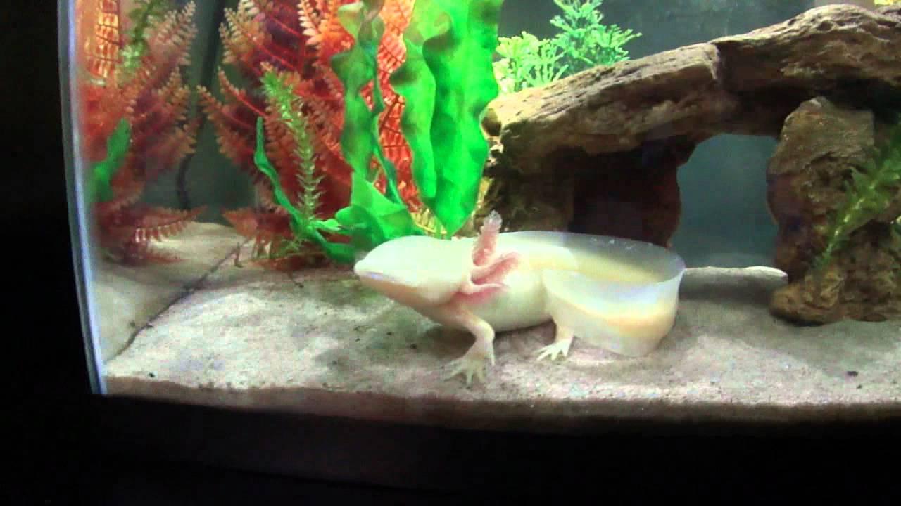 Decoration Aquarium Axolotl : Axolotl set up youtube