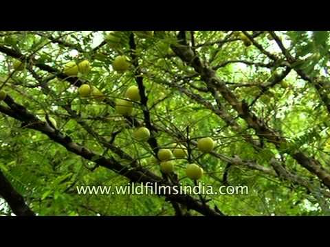Bunch of gooseberry grow wild in the forest of Uttar Pradesh