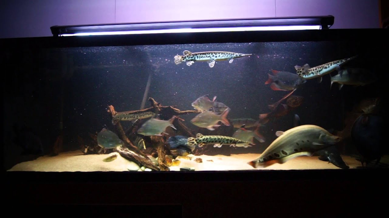 Monster fish tanks gallery for Goliath tiger fish for sale