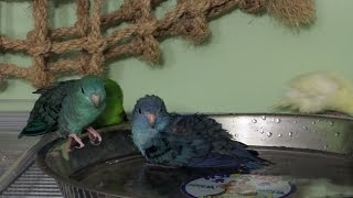 How I make my birds take a bath