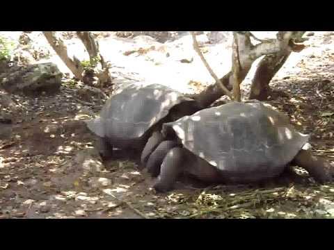 Galapagos Giant Tortoise Fight
