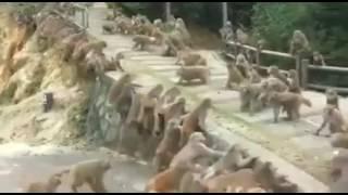 বাদর এর 2 দলের মধ্যে মারামারী (যেন সরকারী দল আর বিরোধী দল)