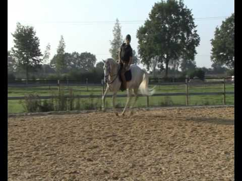 7 yo Hunter by Carambo / Corofino (St. 18A1) Holsteiner