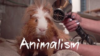 The Largest Guinea Pig Rescue In the World | Animalism