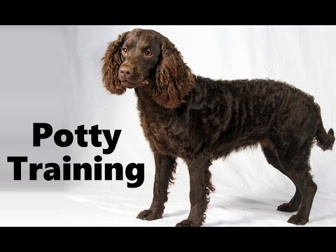 Training Spaniel Puppies Spaniel Puppy House