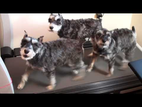 The Treadmill Schnauzers
