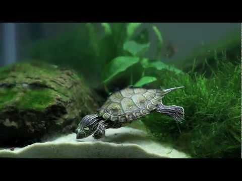 Planted Community Turtle Tank