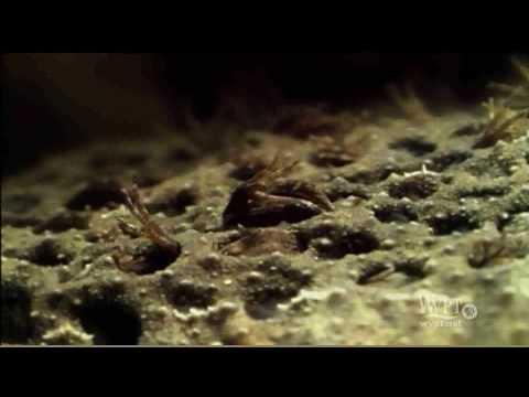 Header of surinam toad