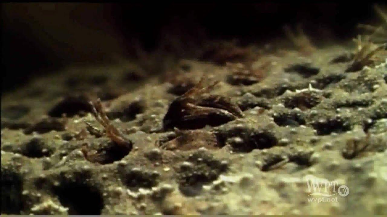 surinam toad   youtube