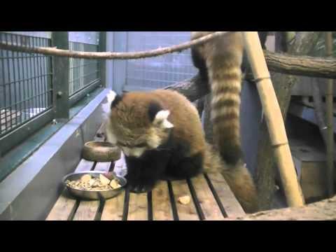 帰らないレッサーパンダ