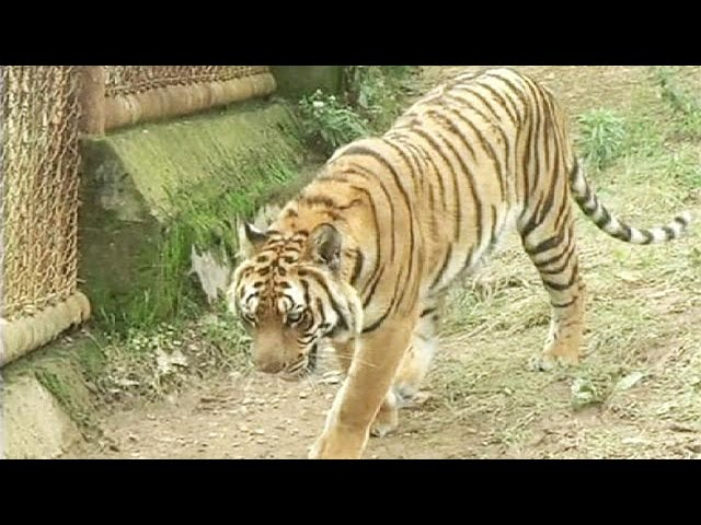 Fearless bird takes on two tigers - no comment
