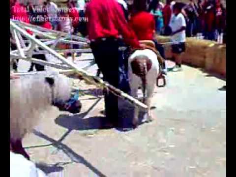 Carrera de los perros galgos del Hipodromo Caliente Tijuana BC