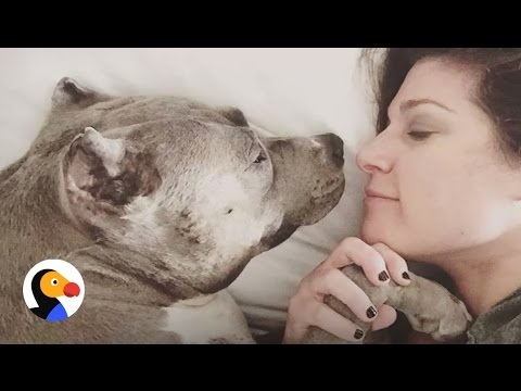 Pit Bull Dogfighting Rescue: Pittie Finds The Perfect Mom | The Dodo