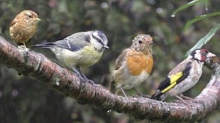 Birds in The Summer Rain : Calming Beautiful Birds with Bird Sounds & Song - Let Nature Sing