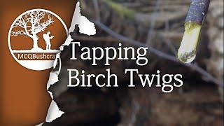 Bushcraft Foraging: Tapping Birch Twigs