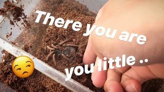 Haven't seen this TARANTULA in MONTHS !!! ~ Had to dig her out ..