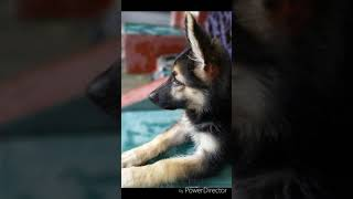 Mr. Bruno | First Day At Home | 35 Days Old GSD Puppy Playing | Very Energetic GSD Puppy