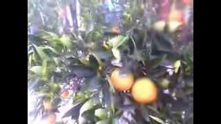 naranjo valencia (semi enano)