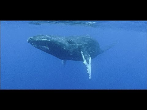 Agressive whale mating behaviour on film - Titans of the Pacific
