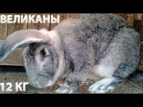 Кролиководство: самые лучшие породы кроликов и кролики великаны.
