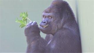 シャバーニ家族140  Shabani family gorilla