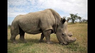 Sudan, world's last white male northern rhino, dies at Ol Pajeta