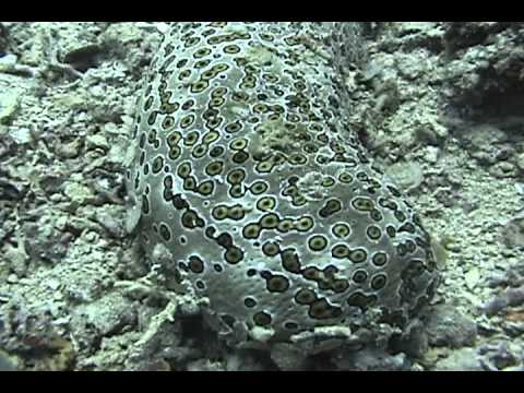 Giant Spotted Sea Cucumber - Flores Sea, Indonesia