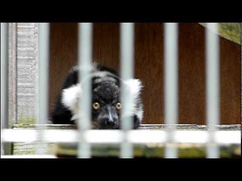 エリマキキツネザルの赤ちゃん。Baby Black and White Ruffed Lemur.#03