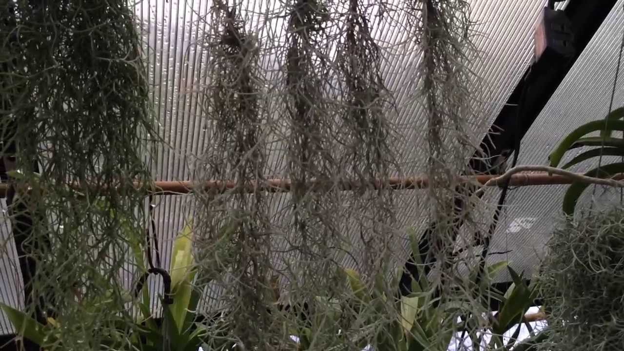 air plant care must know spanish moss care and culture tips for tillandsia usneoides youtube. Black Bedroom Furniture Sets. Home Design Ideas