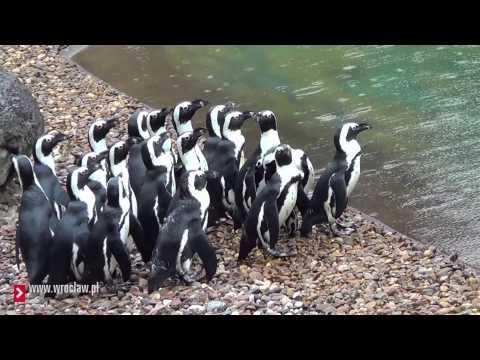 Pingwiny W Oceanarium We Wrocławiu
