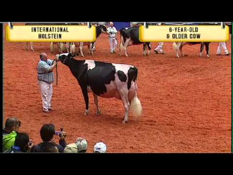 holstein six year old & older cow youtube