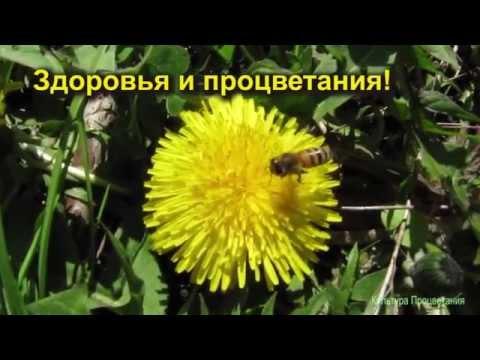 Целебный мёд из одуванчиков