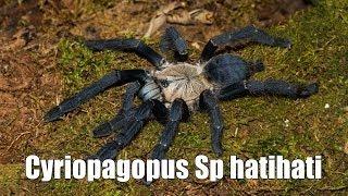 """Tartan Tarantulas Unboxing #6 """"Cyriopagopus Sp hatihati"""""""