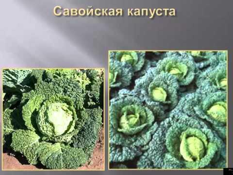"""Капуста и """"дела капустные"""" – посадка и уход, вредители"""
