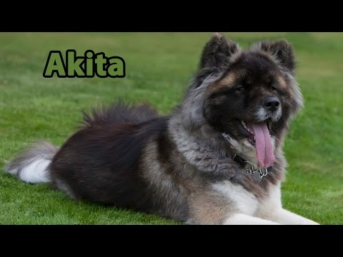 The Right Companion: Akita