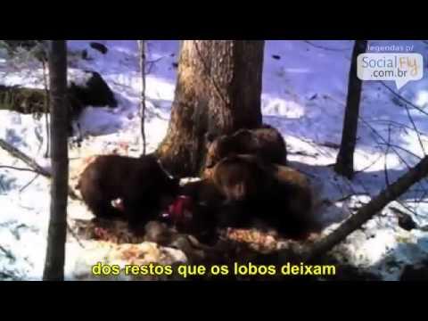 Lobos selvagens são soltos em um parque e algo incrível acontece