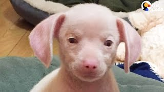 Blind, Deaf Pink Puppy Rescued From Hoarding Situation   The Dodo