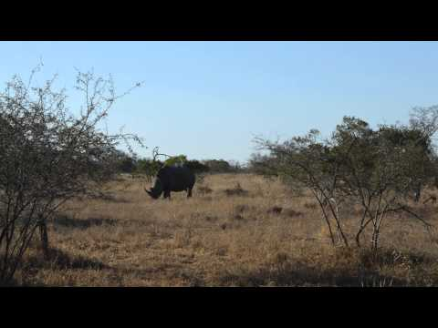 White Rhino at Kruger National Park