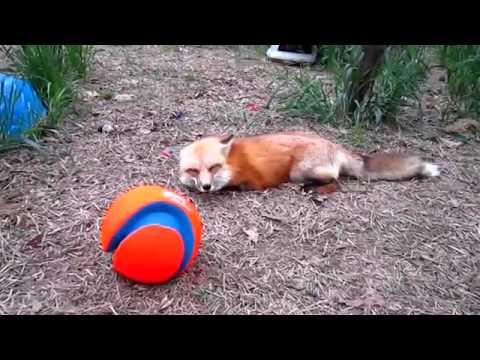 Поздравление забавной лисы с пятым днем рождения