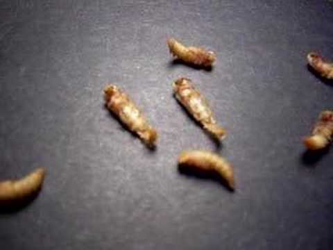 Meal Worm Pupa Morphing to Beetle