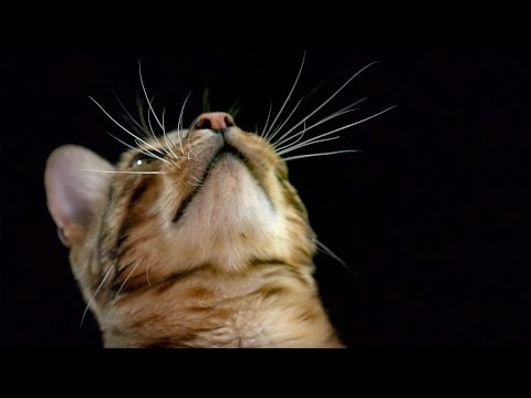How do Cats Use Their Whiskers? Slow-Motion | Cats Uncovered | BBC