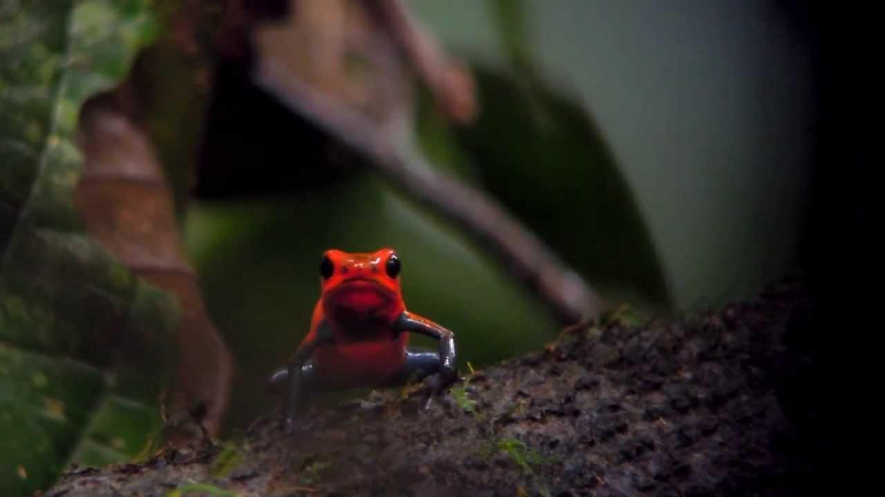 Poison dart frog  Wikipedia