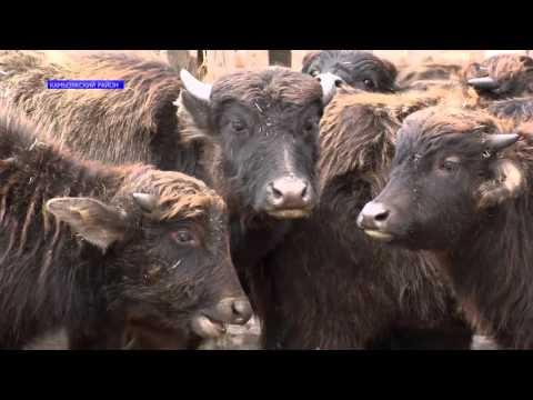 В Астраханской области начали выращивать буйволов