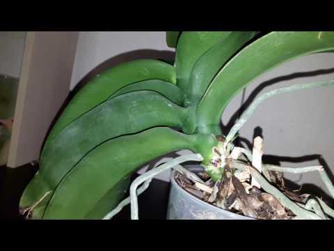 Орхидей не цветет 2 года что делать