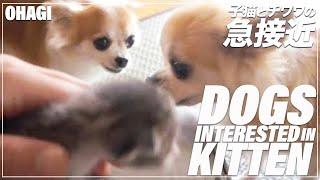 子猫とチワワの急接近 – The chihuahua interested in kitten -