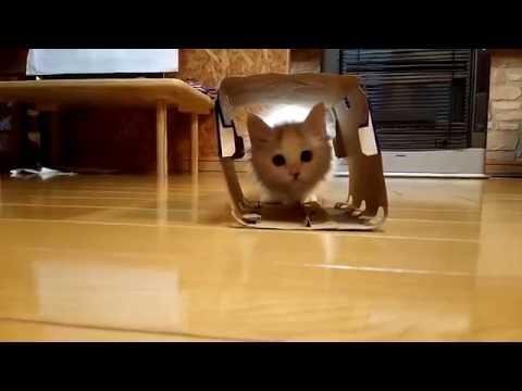 箱で遊ぶのが好き。子猫 -kitten plays by box-