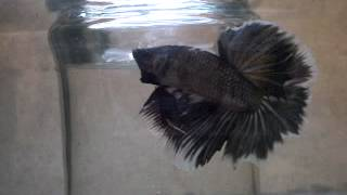 copper butterfly halfmoon betta breeding .phase 1