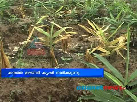 Rains destroy ginger crops:Palakkad News: Chuttuvattom News 7th Aug 2013  ചുറ്റുവട്ടം