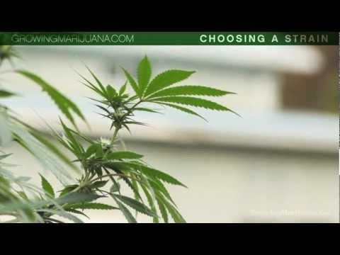 Choosing Your Strain - Beginner Marijuana Growing - Strains - Indica VS Sativa - 1